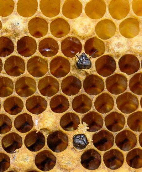 Naissance d'abeilles