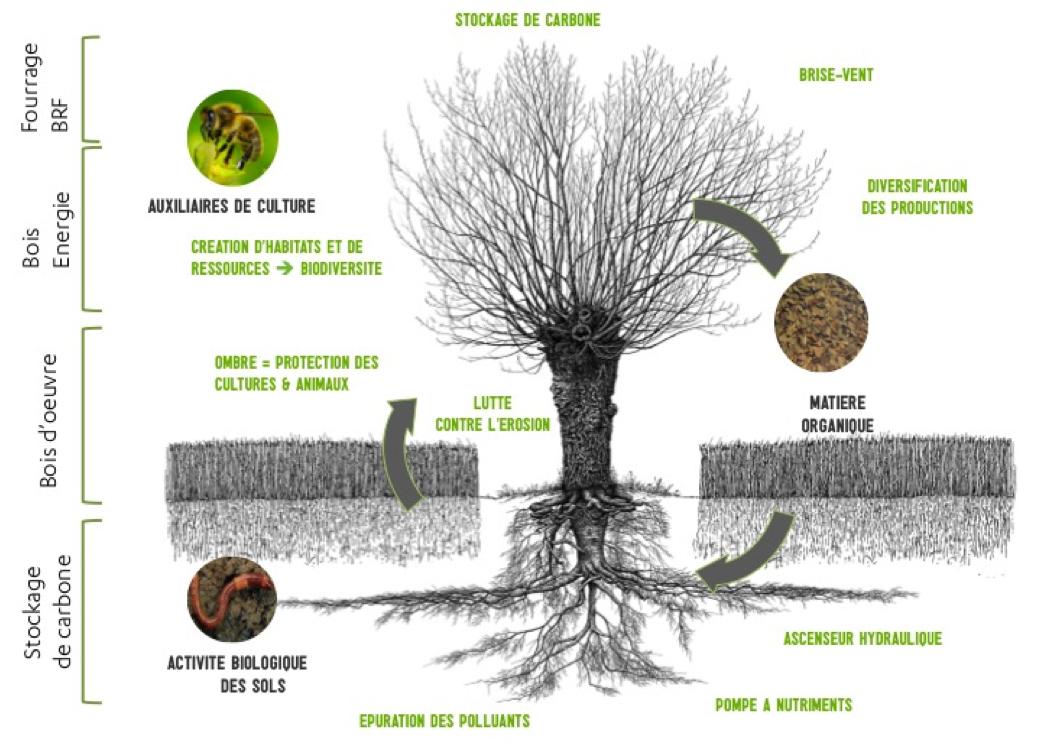 schema-agroforesterie.png