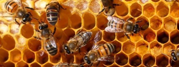 abeillefgghbs.jpg