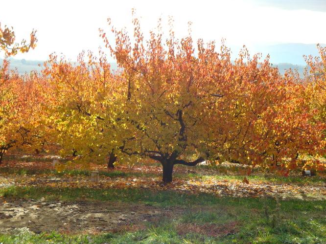 abricotiers_en_automne.JPG