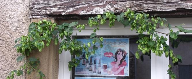Pied de houblon devant la fenêtre de la brasserie
