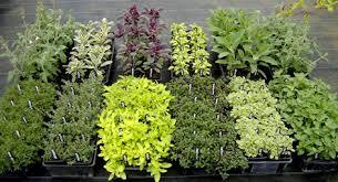 Plantes_aromatiques.jpg