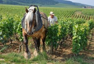 cheval-trait-vigne.jpg
