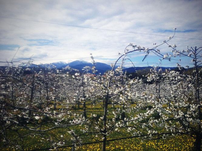 cerisiers.jpg