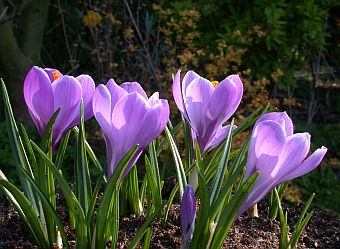 Crocus_queen_of_the_blues.jpg