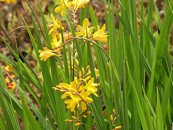 crocosmia_masoniorum.jpg