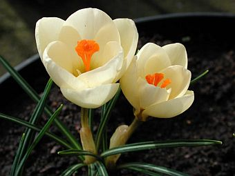 crocus_cream_beauty.jpg