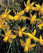 cyclamineusnarcissi.jpg