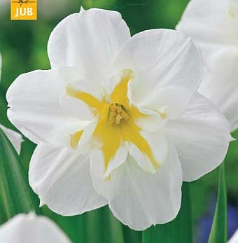 narcissus lemon beauty.jpg