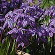 scilla_spring_beauty(1).jpg