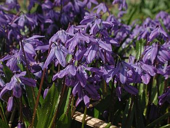 scilla_spring_beauty.jpg