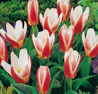 tulipa_Heart_s_delight.jpg