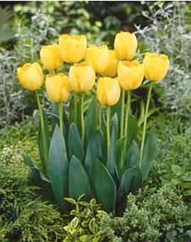 tulipa_golden_parade.jpg