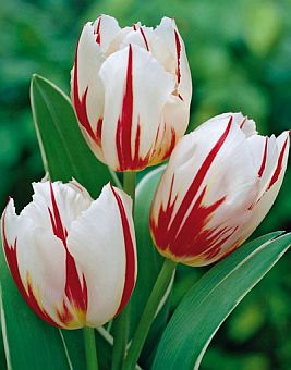 tulipa_happy_generation.jpg