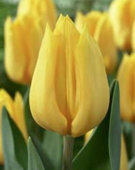 tulipa_yellow_flight.jpg