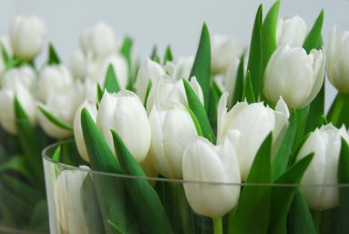 tulp_white_dreamb.jpg