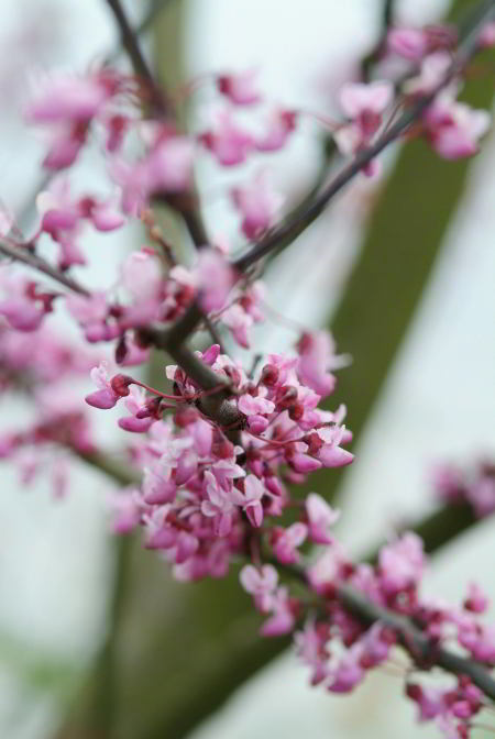 Cercis canadensis 'Forest Pansy'.jpg