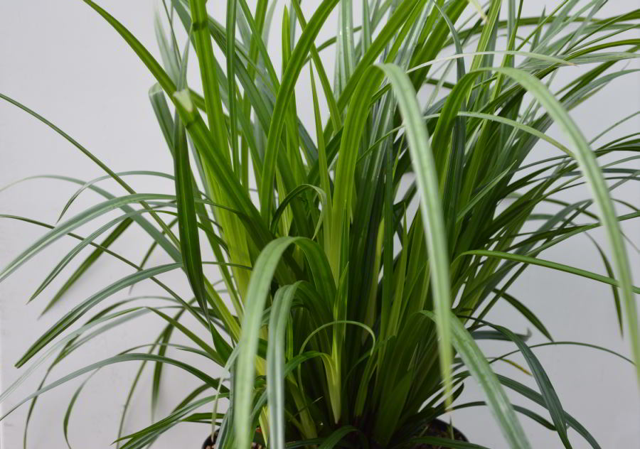 Carex foliosissima Irish green.jpg