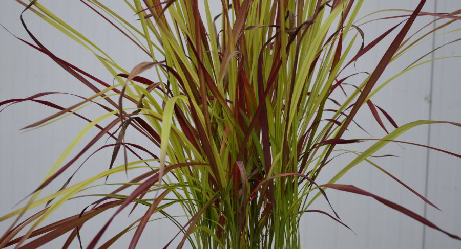 imperata cylindrica red baron 900.jpg