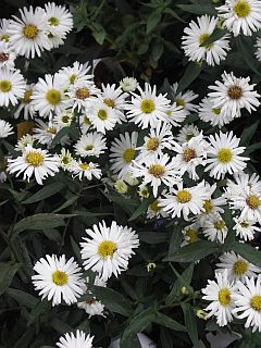 Aster_novi-belgii_White_Ladies.jpg