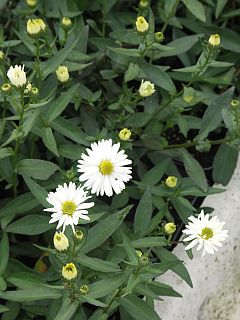 Aster_white_ladies_(novi-belgii).jpg