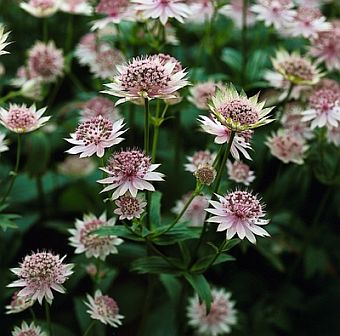 Astrantia_major_Buckland b.jpg