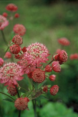Astrantia_major_Lars.jpg