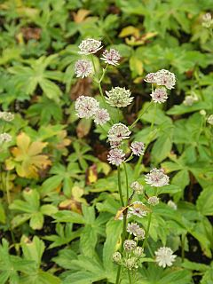 Astrantia_major_Sunningdale_Variegated.j