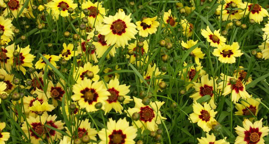 Coreopsis Autumn Blush 1.jpg