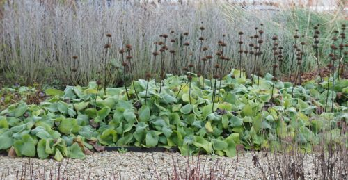 Phlomis_winter.jpg
