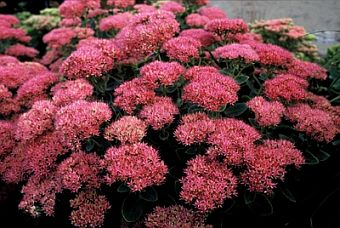 Sedum_spectabile_Brillant_340.jpg