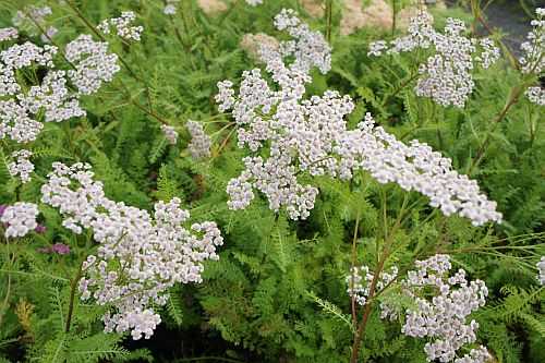 achillea_lilac_beauty.jpg