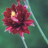 aquilegia_vulgaris_ruby_port.jpg