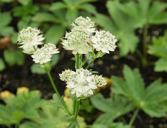 astrantia_major_Jitse.jpg
