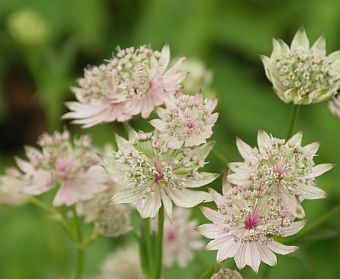 astrantia_major_rosa_lee_1.jpg