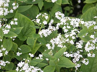 brunnera_betty_bowring.jpg