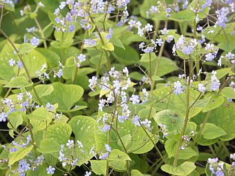 brunnera_langtrees.jpg