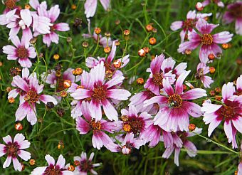 coreopsis_rosea_sweet_dreams.jpg