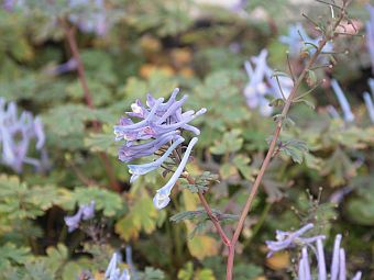 corydalis_flexuosa__Purple_Leaf_.jpg