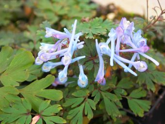 corydalis_flexuosa__Purple_Leaf__1.jpg