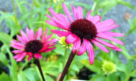 echinacea_fatal_attraction.jpg