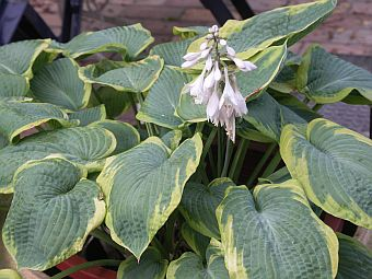 hosta_frances_williams.jpg