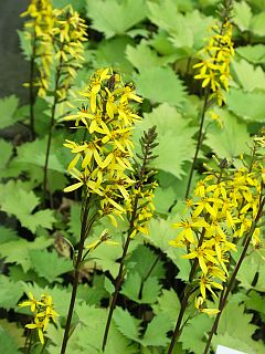 ligularia_stenocephala_Little_Rocket.jpg