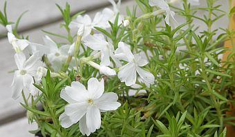phlox_white_delight.jpg