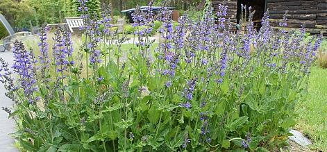 salvia_rhapsody_in_blue_1.jpg