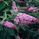 Buddleja davidii fascinating nb.jpg