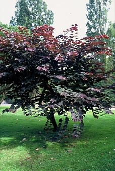 Cercis_canadensis_Forest_Pansy_aa.jpg