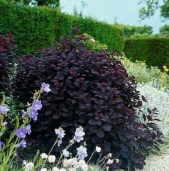 Cotinus_coggy_Royal_Purple.jpg