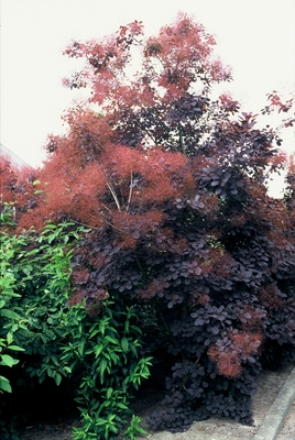 Cotinus_coggygria_Royal_Purple_2.jpg