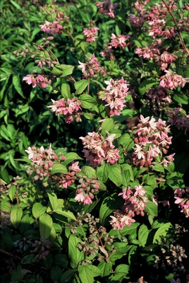 Deutzia___hybrida_Strawberry_Fields.jpg